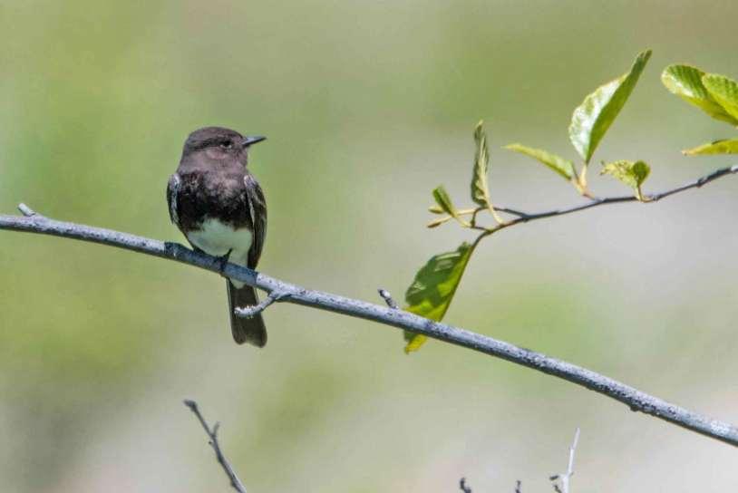 Black Phoebe rests on branch