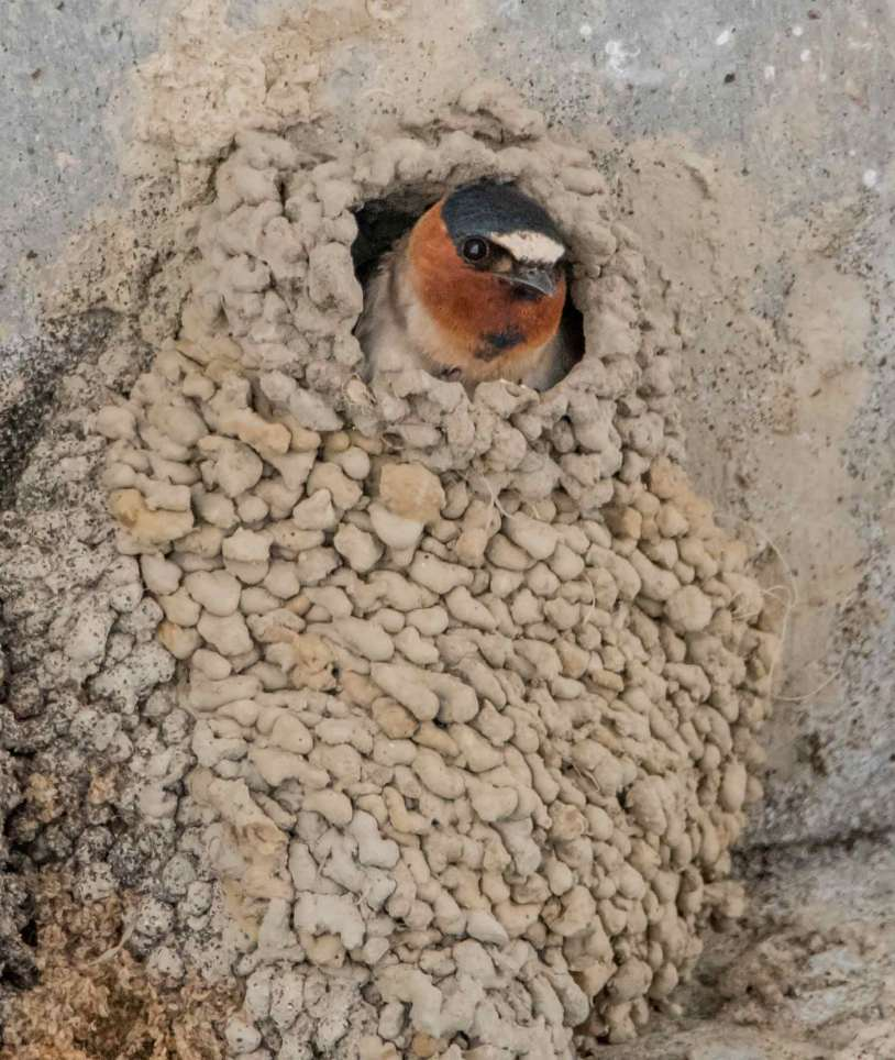 Cliff Swallow peeks from its nest