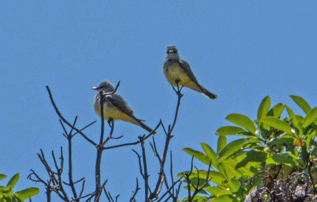 Kingbirds survey the realm